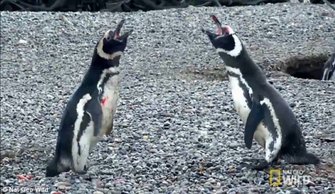 Throwback Thursday: National Geographic Lights Up the Internet with Penguin Fighting Video